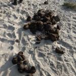 Nashornkacke: vorne Baby, hinten Mama