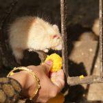 Im Rattentempel, weiße Ratten bringen Glück
